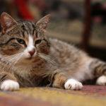 Особенности ухода за кастрированными котами