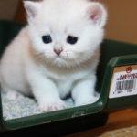 Приучаем кошку к лотку